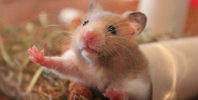 Are Hamsters Scared of Cats?
