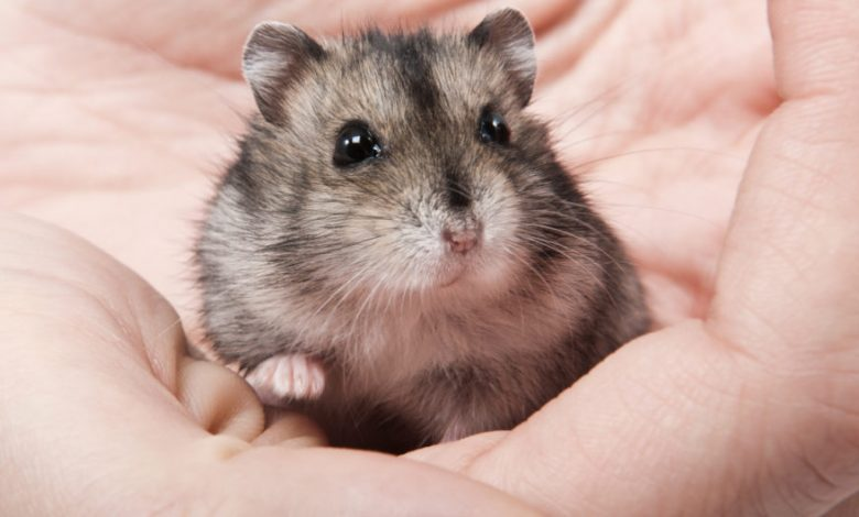 Do You Need to Trim Hamster Nails?