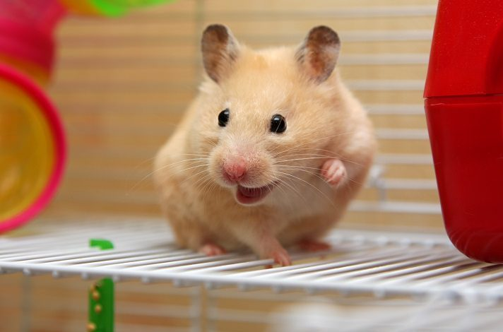 How Do Hamsters Communicate with Each Other?