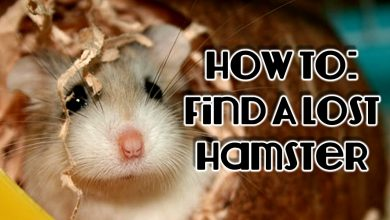 Photo of How to Find a Lost Hamster in the House?