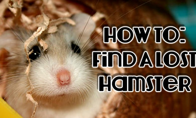 How to Find a Lost Hamster in the House?