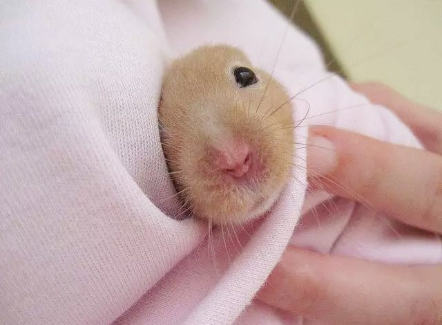 Why is My Hamster Getting Thinner?