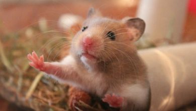 Photo of Can a hamster be euthanized?