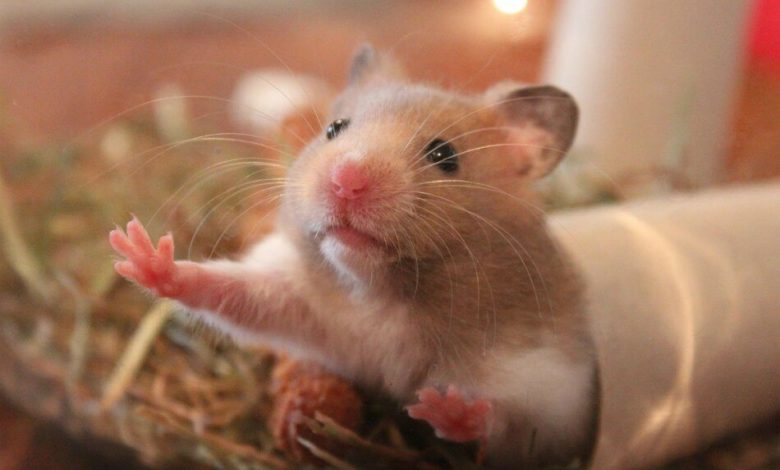 Can a hamster be euthanized?