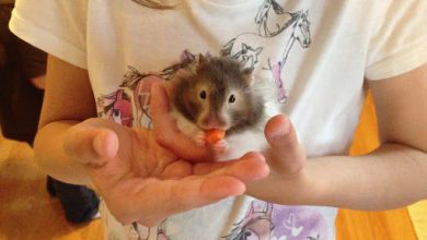 Photo of Can a hamster die from falling?
