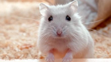 Photo of How do hamsters recognize their owners?