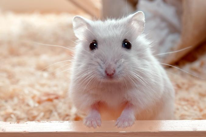 How do hamsters recognize their owners?