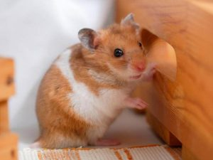How to Tell The Age of Your Hamster?