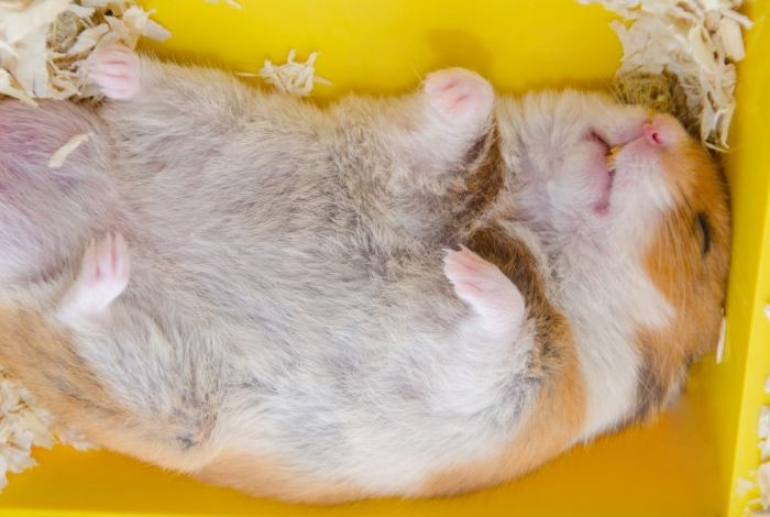 How to wake hamster up from hibernation?