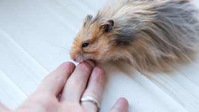 Photo of Why do Hamsters itch a lot?