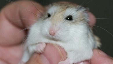 Photo of Why do hamsters fall backward?