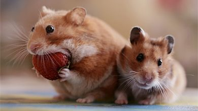 Photo of Can Hamsters Eat Dried Cranberries?