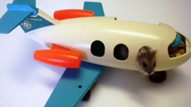 Photo of Can a Hamster Fly in an Airplane?