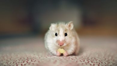 Photo of Can a hamster find its way home?
