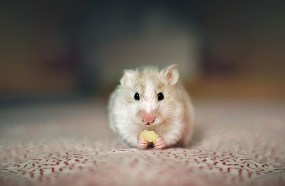 Can a hamster find its way home?