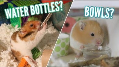 Photo of Can dwarf hamsters drink from a bowl?