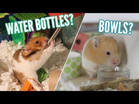 Can dwarf hamsters drink from a bowl?