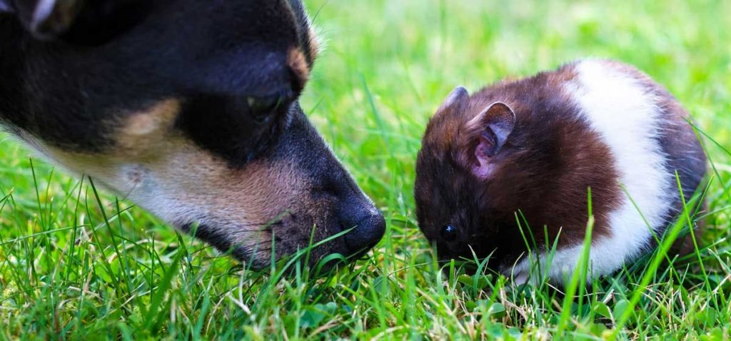 Can hamsters and dogs get along?