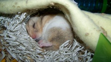Photo of Can hamsters get sick from humans?