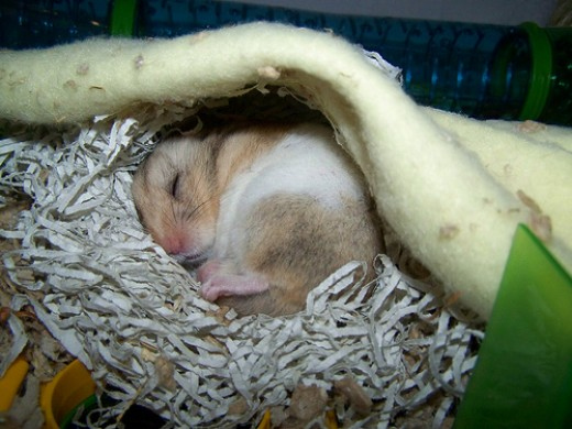 Can hamsters get sick from humans?