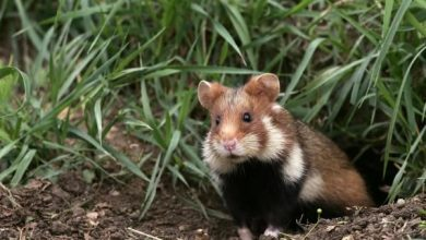 Photo of Do hamsters still live in the wild?