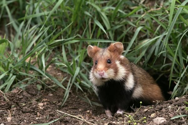 Do hamsters still live in the wild?