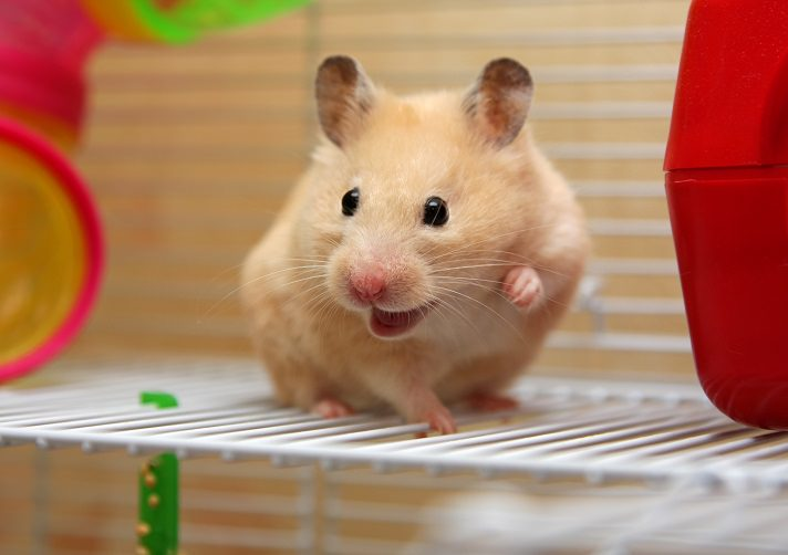 How do hamsters get wet tail disease?
