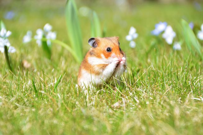 How does a hamster adapt to its environment?