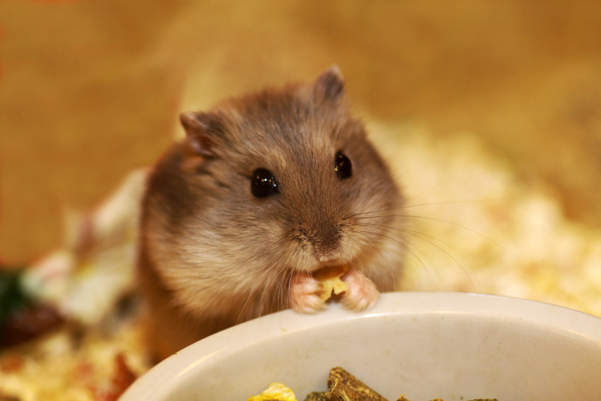 How high can dwarf hamsters jump?