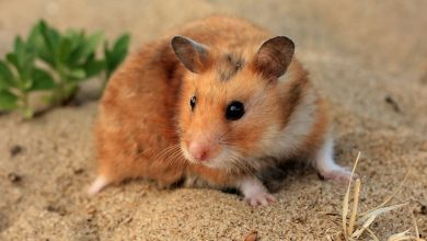 Photo of How long do Syrian Hamsters live in captivity?