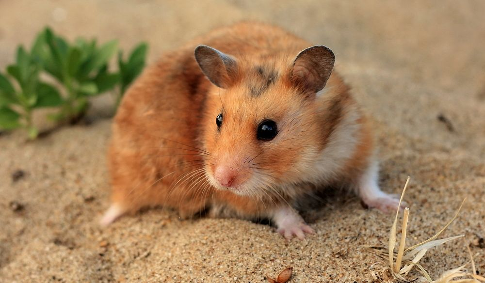 How long do Syrian Hamsters live in captivity?