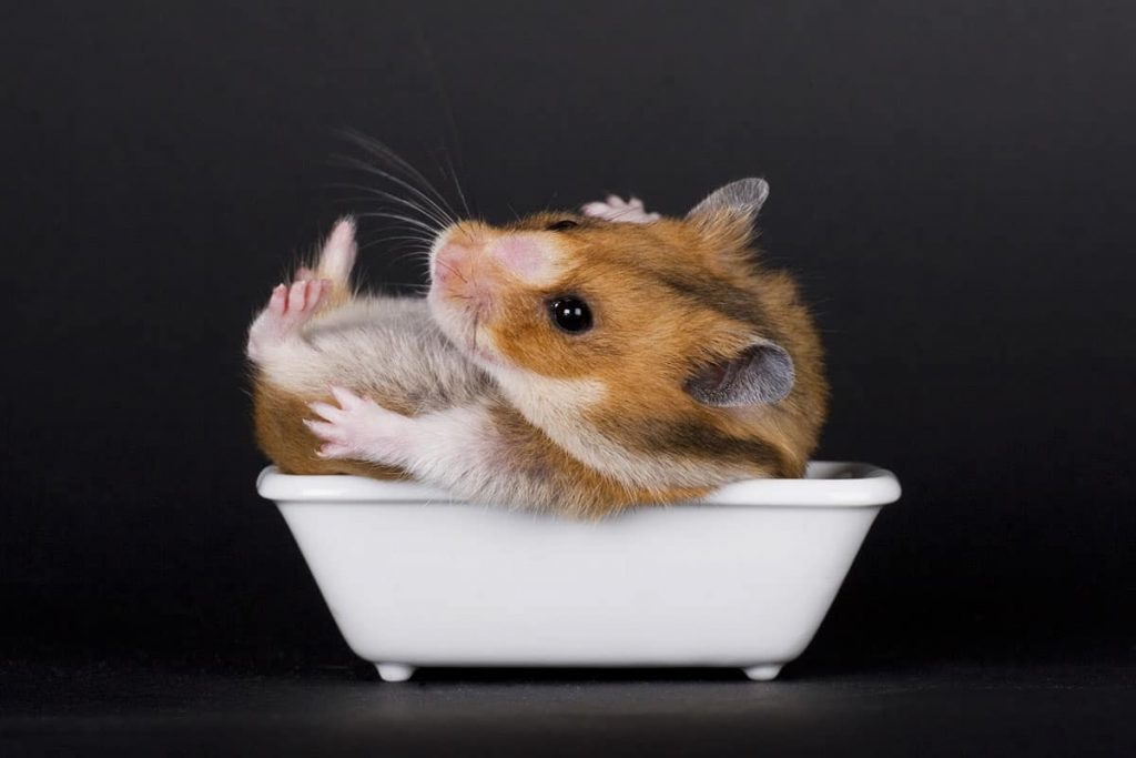 How to clean poop off a hamster?