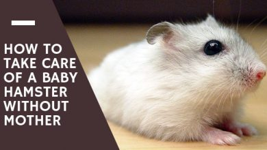 Photo of How to feed baby hamsters without mother?