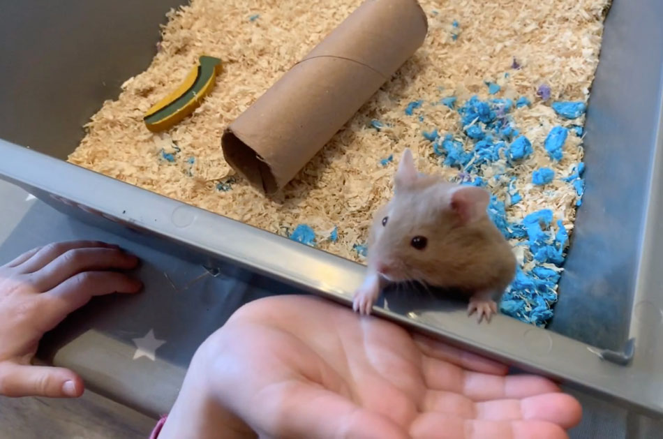 How to hide a pet hamster from your parents?