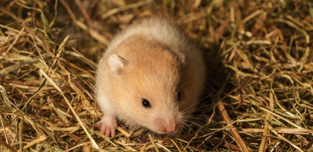 What to do if your hamster is choking?