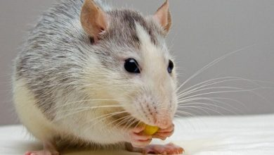 Photo of Why are almonds bad for hamsters?