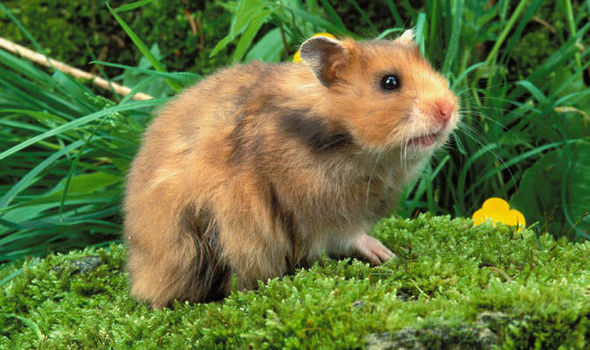 Why are hamsters illegal in Hawaii?