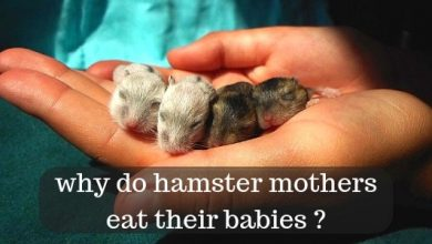 Photo of Why do mother hamsters kill their babies?