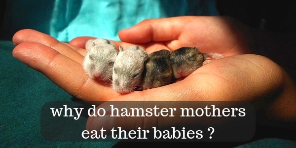 Why do mother hamsters kill their babies?
