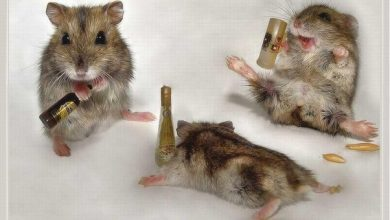 Photo of Why is my hamster acting drunk?