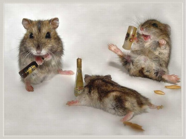 Why is my hamster acting drunk?