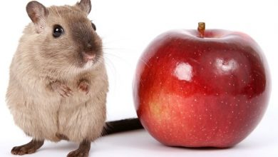 Photo of Can Hamsters Eat Apple Skin?