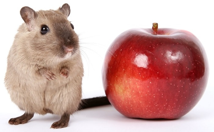 Can Hamsters Eat Apple Skin?