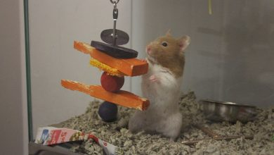 Photo of Can Hamsters Eat Carrots Everyday?
