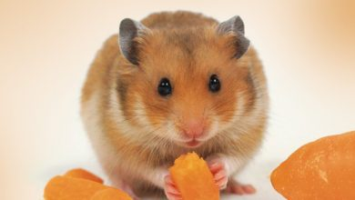 Photo of Can Hamsters Eat Dried Mango?
