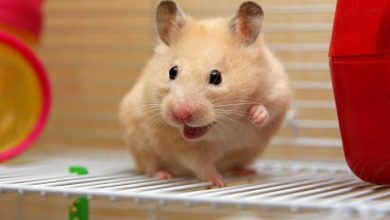 Photo of Do hamsters whiskers grow back?