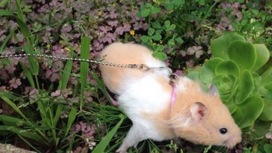 Photo of How to make a hamster harness and leash?