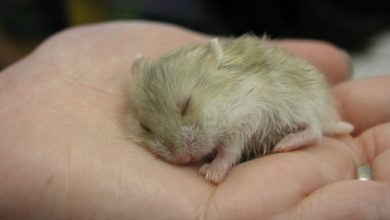 Photo of How to make a hamster sleep in your hand?