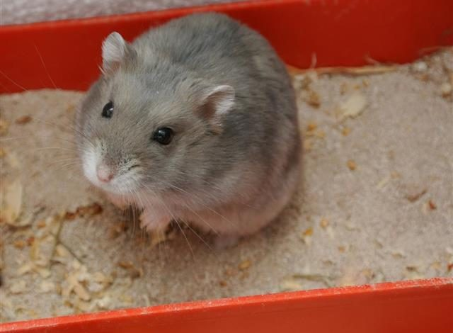 How to make a litter box for hamsters?