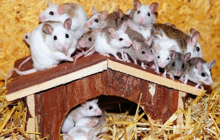 Where do pet stores get their hamsters?
